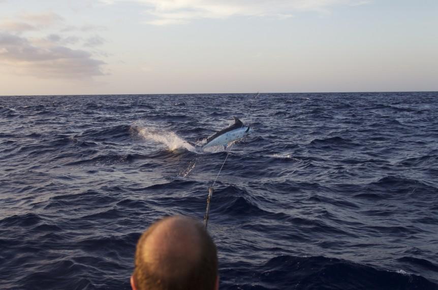 Wild 800# blue marlin for Kevin Hodgson.