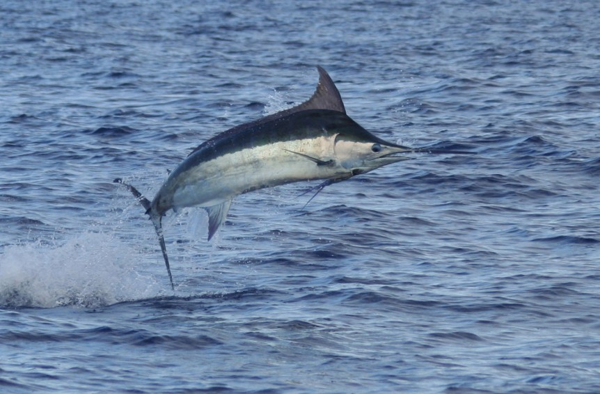 blue-marlin-jumping-close